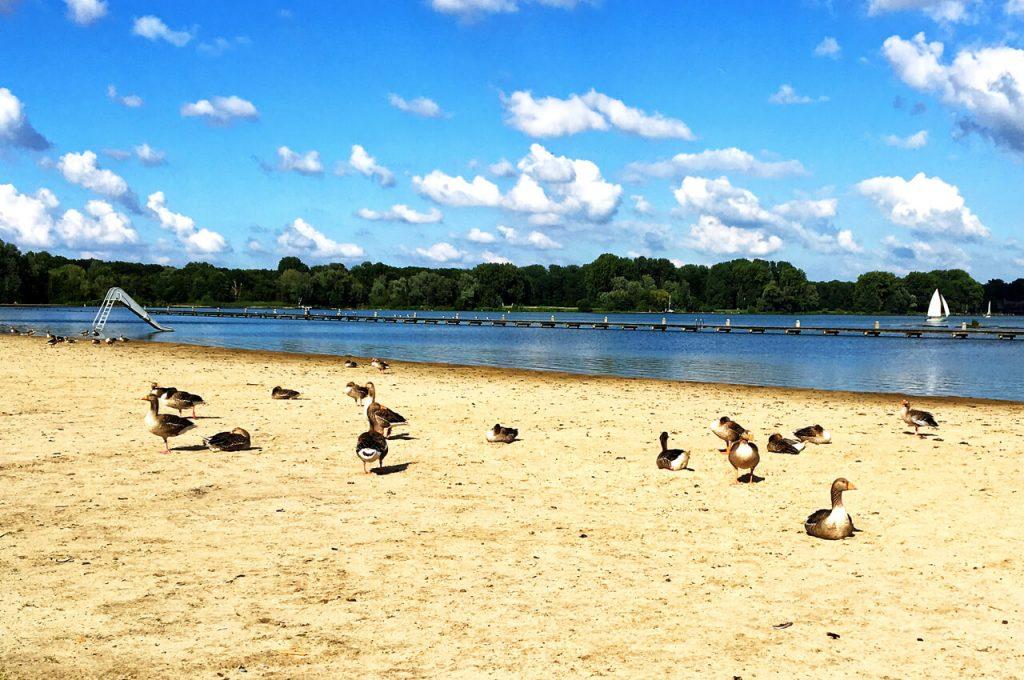 Ganzen op het strandje bij de Kralingse Plas