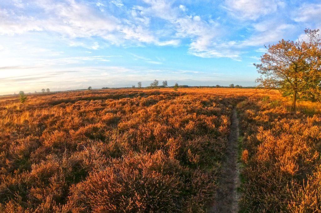 Gouden gloed over de heide velden in Drenthe